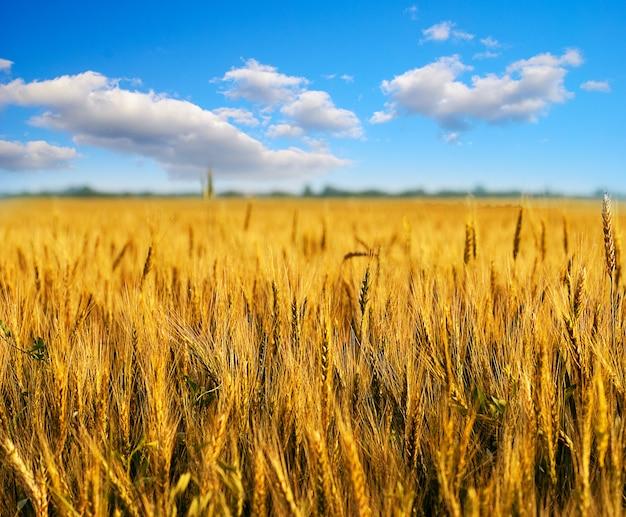 Pole pszenicy z chmurami na niebieskim niebie. niewielka głębokość pola