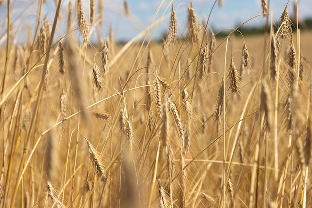 Pole pszenicy z kłosami złotej pszenicy na tle błękitnego nieba. piękny krajobraz