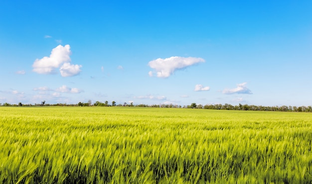 Pole pszenicy z pięknym niebem. działalność rolnicza.