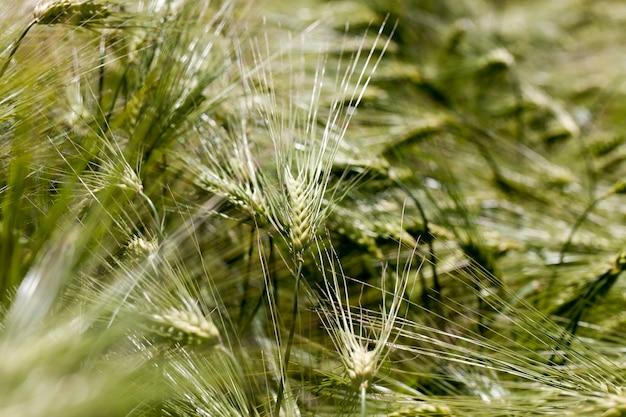 Pole pszenicy z zielonymi niedojrzałymi roślinami pszenicy
