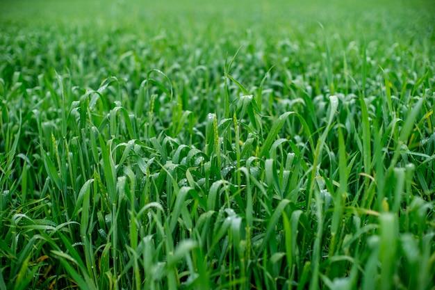 Pole pszenicy, zielone pole pszenicy po deszczu