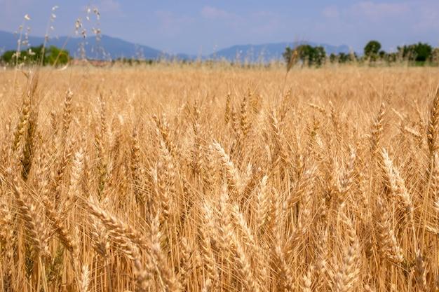 Pole pszenicy złotej gotowe do zbioru (rozmycie, selektywne fokus) na północ od włoch