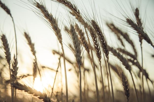 Pole pszenicy złotej o zachodzie słońca
