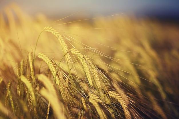 Pole pszenicy złotej w ciągu dnia