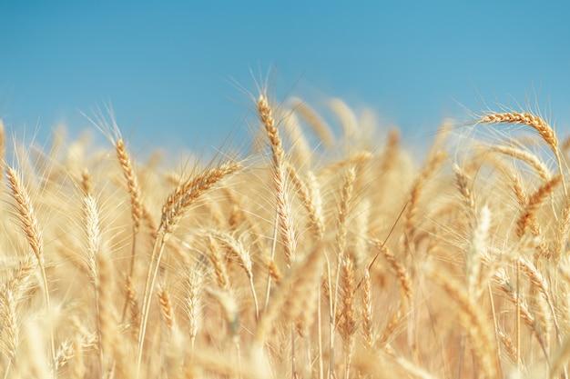 Pole pszenicy złotej w lecie