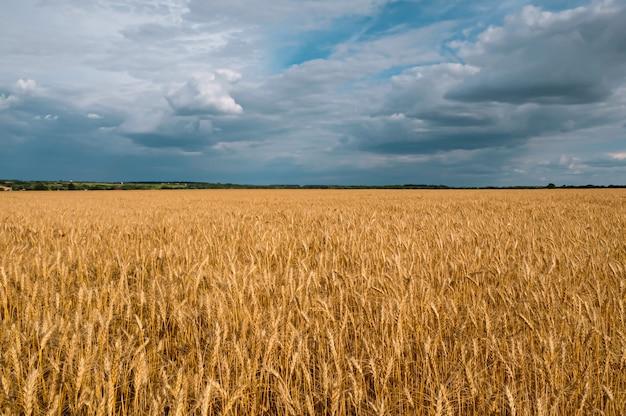 Pole pszenicy złotej w pochmurną pogodę.
