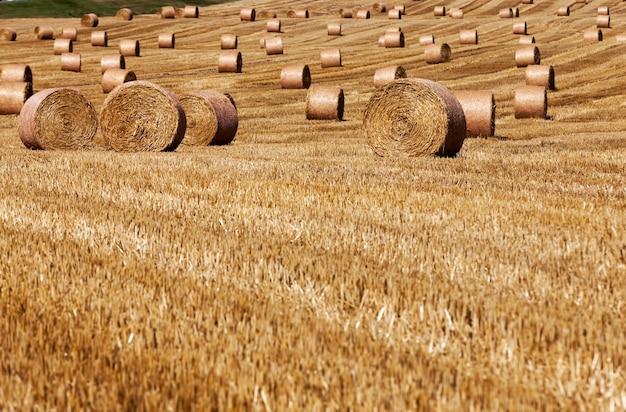 Pole rolne, na którym leżą stosy słomy po zbiorze żyta, ściernisko z żyta na wiejskim polu