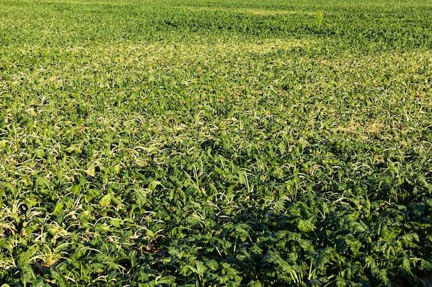 Pole rolne, na którym rośnie duża ilość zielonych, ospałych buraków, odwodnione, ospałe buraki na polu rolniczym z powodu upałów, rolnictwo z problemami z uzyskaniem plonów, zbliżenie
