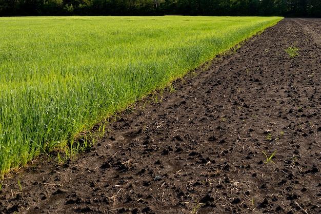 Pole rolne z młodymi pędami kultury zbożowej oraz zaorane pole nienasienne. koncepcja ugoru. ukośna krawędź pola