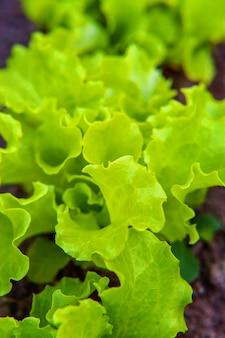 Pole rolne z sałatką z zielonych liści na łóżku ogrodowym w polu warzyw. ogrodnictwo tło z roślinami zielonej sałaty. koncepcja diety wegetariańskiej wegańskiej zdrowej żywności ekologicznej