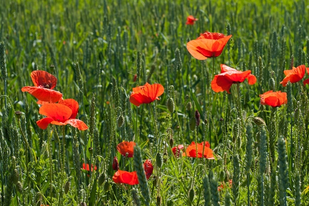 Pole rolne zielonej pszenicy z kwiatami czerwonych kwiatów maku w słoneczny letni dzień.