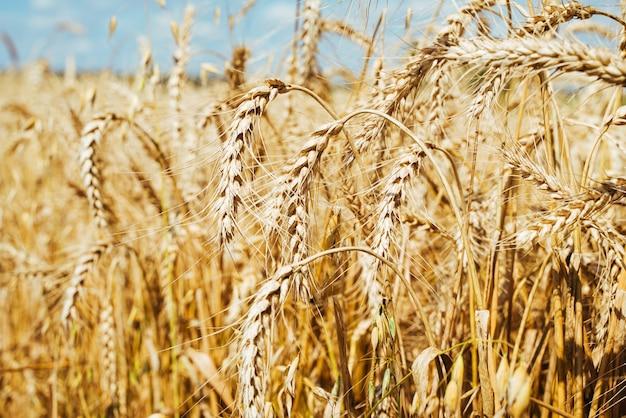 Pole rolnicze. dojrzałe kłosy pszenicy. koncepcja bogatych zbiorów.