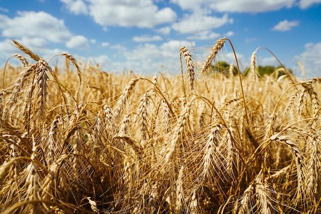 Pole rolnicze. dojrzałe kłosy pszenicy na tle zachodzącego słońca. koncepcja bogatych zbiorów