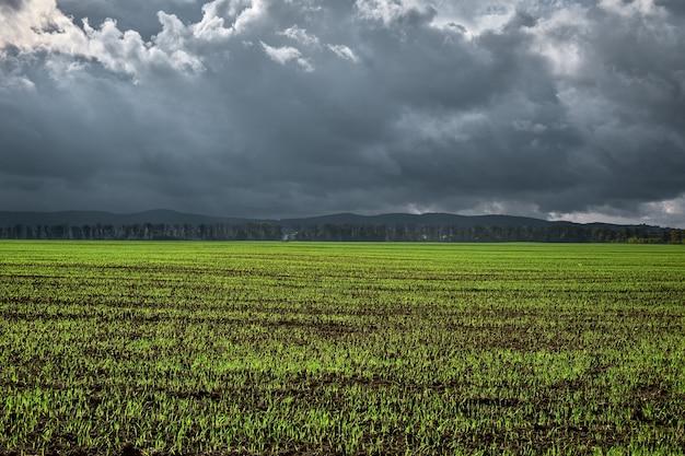 Pole rolnicze, młode pędy pszenicy ozimej lub zboża zaczęły kiełkować z gleby