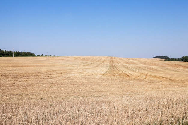 Pole rolnicze, na którym można zebrać dojrzałą żółtą pszenicę, błękitne niebo, małą głębię ostrości