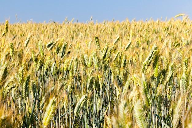Pole rolnicze, na którym rośnie dojrzała pszenica żółta gotowa do zbioru.