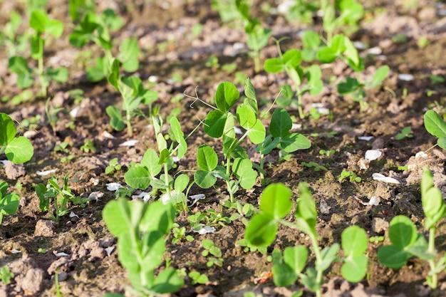 Pole rolnicze, na którym rośnie młody zielony groszek, mała głębia ostrości