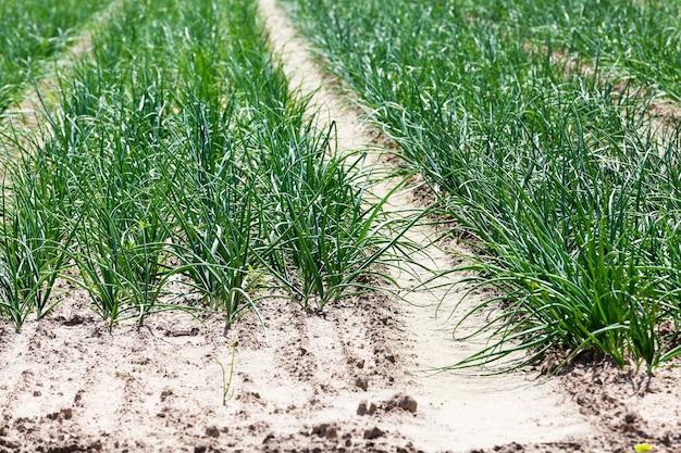 Pole rolnicze, na którym rośnie zielona cebula. wiosna
