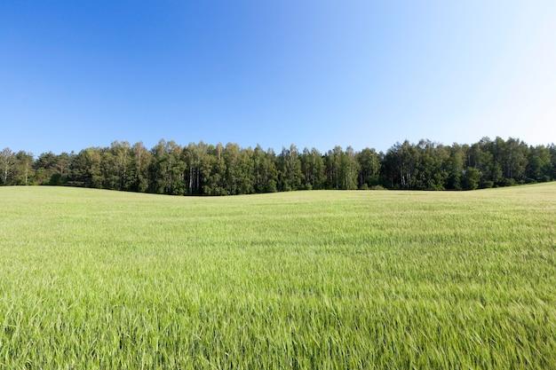 Pole rolnicze, na którym rośnie zielona niedojrzała trawa pszeniczna, krajobraz w tle błękitne niebo i drzewa