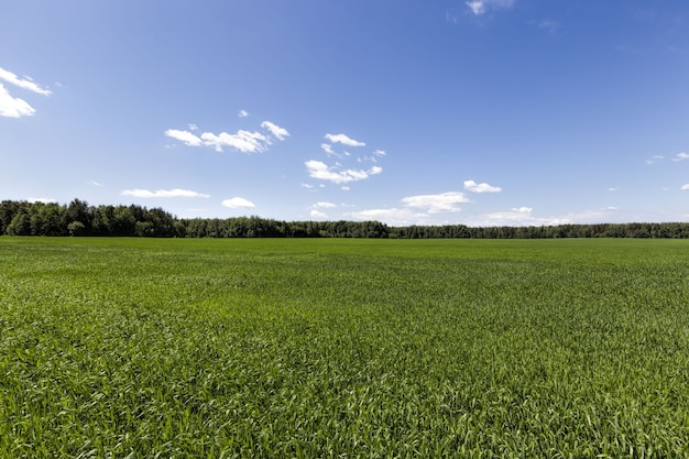 Pole rolnicze, na którym uprawa zbóż, pszenicy lub żyta prowadzi działalność rolniczą w europie na wschodzie