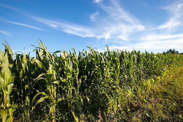 Pole rolnicze, na którym uprawiają kukurydzę