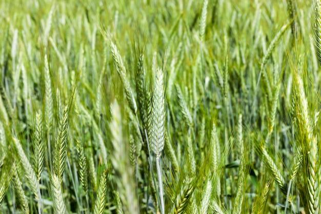 Pole rolnicze z zielonymi kłosami zbóż