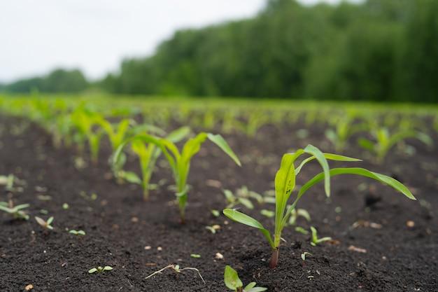Pole rolnika z małymi młodymi kiełkami kukurydzy