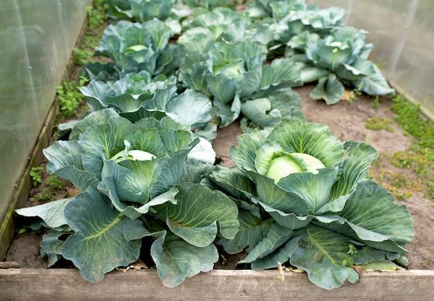 Pole roślin zielonej kapusty na zewnątrz w lecie warzyw rolniczych.