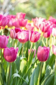 Pole różowi i żółci tulipany w wiosna dniu z plamą naturalną. kolorowi tulipanów kwiaty w wiosny kwitnienia okwitnięcia ogródzie.