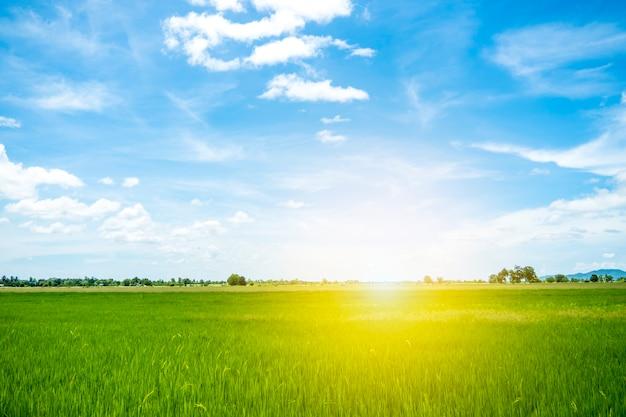 Pole ryżowe i słońce rano z czystym błękitnym niebem wśród vally w naturalnym, jasnym słońcu i świeżym polu ryżowym