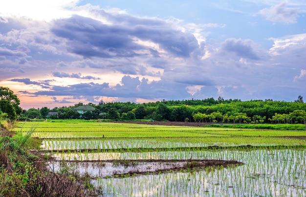 Pole ryżowe, rolnictwo, niełuskany ryż, ze wschodem lub zachodem słońca na niebie o zmierzchu