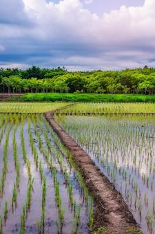 Pole ryżowe, rolnictwo, niełuskany, z niebem i chmurą o zachodzie słońca, pole ryżowe w azji