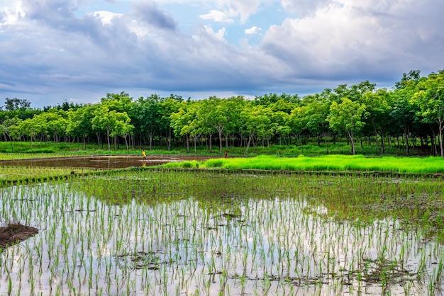 Pole ryżowe, rolnictwo, ryż, niebo i deszcz chmur w wieczornym świetle