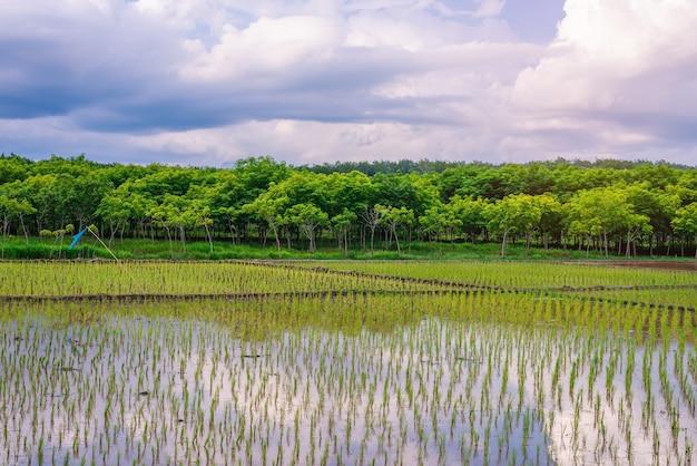 Pole ryżowe, rolnictwo, ryż niełuskany, niebo i chmury o zachodzie słońca, pole ryżowe w azji