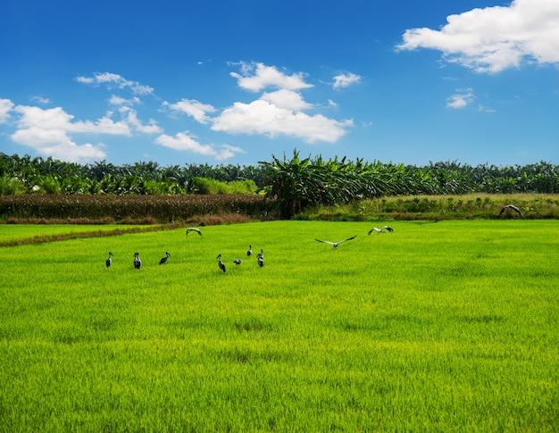 Pole ryżowe, rolnictwo, ryż niełuskany, z białą chmurą i błękitnym niebem