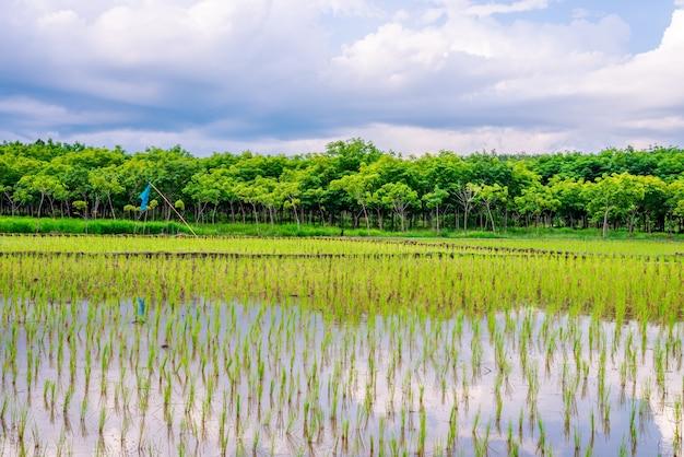 Pole ryżowe, rolnictwo, ryż niełuskany, z niebem i deszczem chmur w wieczornym świetle