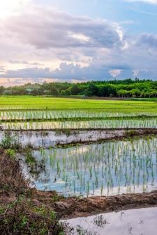 Pole ryżowe, rolnictwo, ryż niełuskany, z niebem wschodem lub zachodem słońca o zmierzchu
