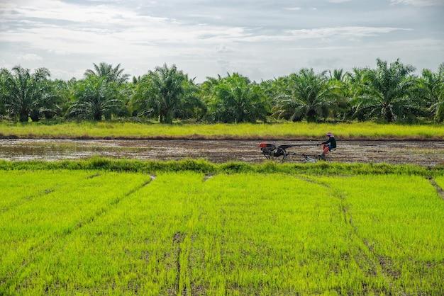 Pole ryżowe, rolnictwo, ryż niełuskany, z rolnikiem i białą chmurą i błękitnym niebem