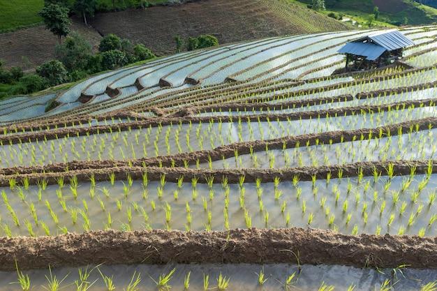 Pole ryżowe w północnej tajlandii mae cham chiangmai
