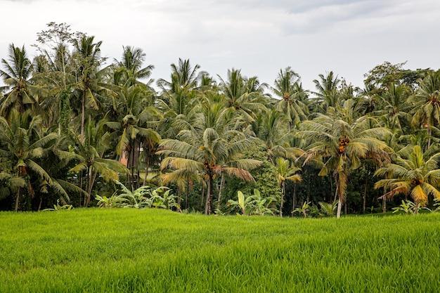 Pole ryżowe z dżunglą. pochmurna pogoda.