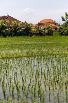 Pole ryżowe z wioską