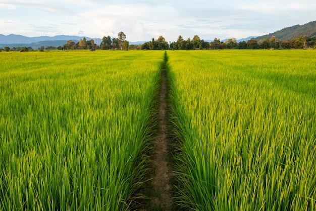 Pole ryżowe ze ścieżką