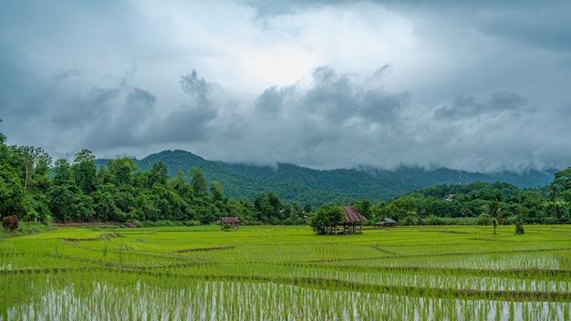 Pole ryżu niełuskanego