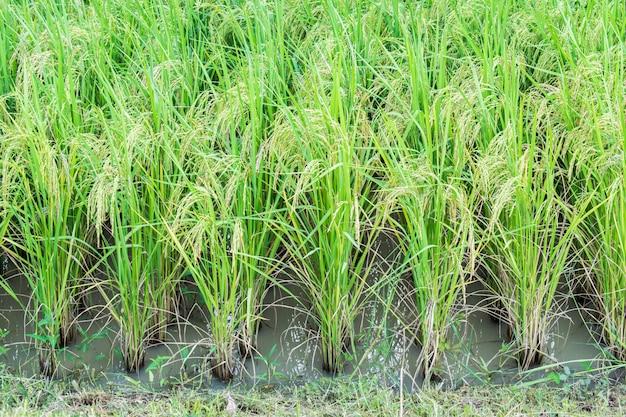 Pole ryżu w tajlandii. ucho ryżu lub ucha niełuskanego.