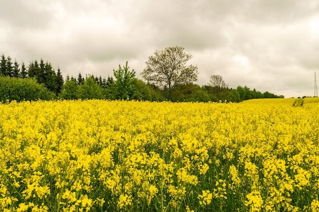 Pole rzepaku, krajobraz rzepaku, żółte kwiaty oleiste