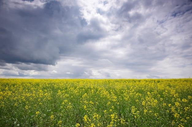 Pole rzepaku, kwitnące kwiaty rzepaku z bliska. gwałt na polu w lecie.