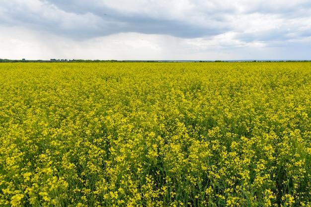 Pole rzepaku w deszczowy dzień, panorama kwitnących kwiatów rzepaku. gwałt na polu latem w pochmurno. jasnożółty olej rzepakowy