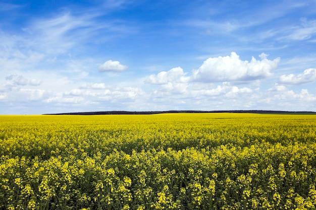 Pole rzepaku. wiosna - pole uprawne, na którym rośnie rzepak kwitnący żółte kwiaty. wiosna