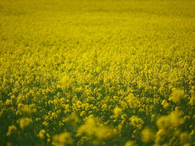 Pole rzepaku z żółtymi kwiatami