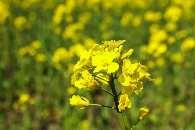 Pole rzepaku, zbliżenie i miejsca na tekst. piękny wiosenny kwiat